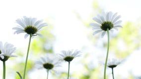 在风的春黄菊 影视素材