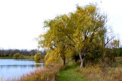 在风的柳树 库存照片
