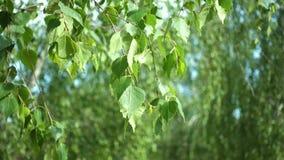 在风的桦树叶子 股票录像