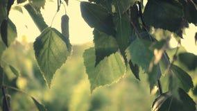 在风的桦树叶子 股票视频