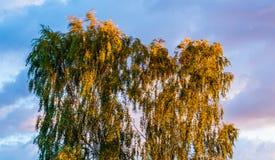 在风的桦树摇摆的叶子 免版税图库摄影