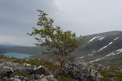 在风的桦树 免版税库存图片