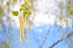 在风的桦树 库存图片