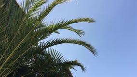 在风的棕榈叶摇动 股票视频