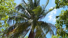 在风的棕榈树反对蓝天 股票录像