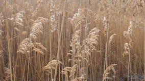 在风的沼泽地藤茎Bulsrush 影视素材