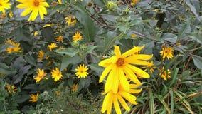 在风的灌木摇摆增长的黄色花 股票视频