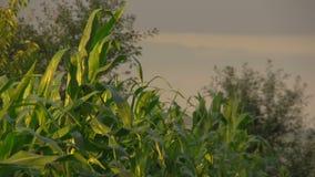在风的玉米叶子 影视素材