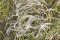 在风的白色草,自然 库存照片