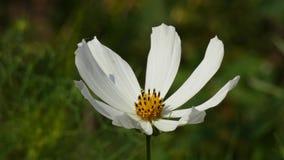 在风的白花摇动-庭院波斯菊波斯菊Bipinnatus 股票录像