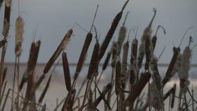 在风的纸莎草丛林在冬天视图 股票视频