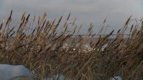 在风的纸莎草丛林在冬天视图 股票录像