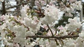 在风的美丽的樱桃树开花 影视素材