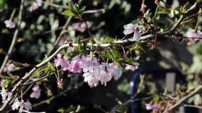 在风的美好的狂放的桃红色花摇动在一个精美树枝-庭院自然厂背景 股票视频