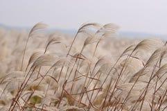 在风的芦苇 免版税库存照片