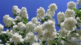 在风的茉莉花花在庭院 分支特写镜头与白花的反对天空蔚蓝 股票录像