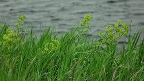 在风的草摇动与被弄脏的湖挥动在背景 影视素材