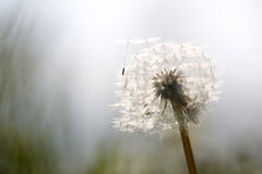在风的蒲公英吹的种子在日落 库存图片