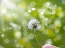 在风的蒲公英 图库摄影