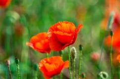 在风的野生红色鸦片 免版税库存图片