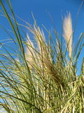 在风的野草在蓝色早晨天空 免版税库存照片