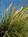 在风的野草在蓝色早晨天空 库存图片