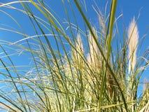 在风的野草在蓝色早晨天空 免版税库存图片