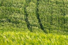 在风的钉在麦田 r E 柏,小山,黄色油菜籽领域 免版税库存照片