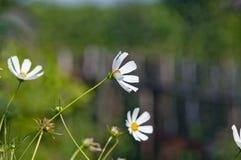在风的雏菊花 免版税库存照片