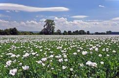 在风的鸦片领域与在天空的云彩 免版税库存图片