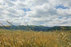 在风的麦子 图库摄影