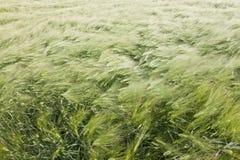 在风的麦田 免版税库存图片
