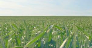 在风的绿色麦子茎打击 影视素材