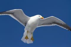 在风车叶片传播垂悬的海带鸥 免版税库存照片