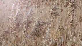 在风透镜火光的沼泽地藤茎Bulsrush 影视素材