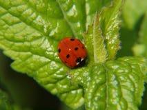 在风铃草叶子的瓢虫 免版税图库摄影