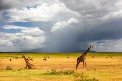 在风雨如磐的天空的背景的非洲长颈鹿 闹事 坦桑尼亚 免版税库存照片