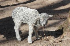 在风雨棚的羊羔 免版税库存图片
