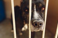 在风雨棚笼子的逗人喜爱的pitbul狗与哀伤的哭泣的眼睛和pointin 免版税库存照片