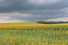 在风暴前的向日葵 免版税库存照片