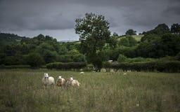 在风暴前的绵羊 英国 免版税库存照片