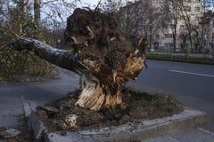 在风暴以后的下落的树 库存图片