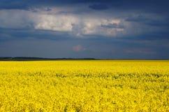 在风暴以后的油菜籽领域 库存照片