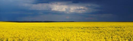 在风暴以后的油菜籽领域 库存图片