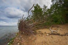 在风暴以后的被连根拔的树 库存照片