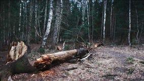 在风暴和桦树以后的残破的树干 免版税库存图片