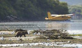 在飞机前面的沿海棕熊 库存图片