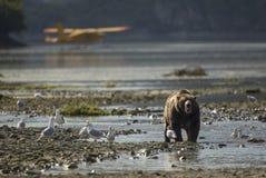 在飞机前面的沿海棕熊 库存照片