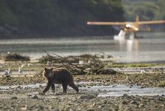 在飞机前面的沿海棕熊 免版税图库摄影