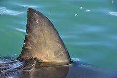 在飞翅鲨鱼水之上 关闭 大白鲨鱼,噬人鲨属carcharias,错误海湾,南非,大西洋后面飞翅  库存照片
